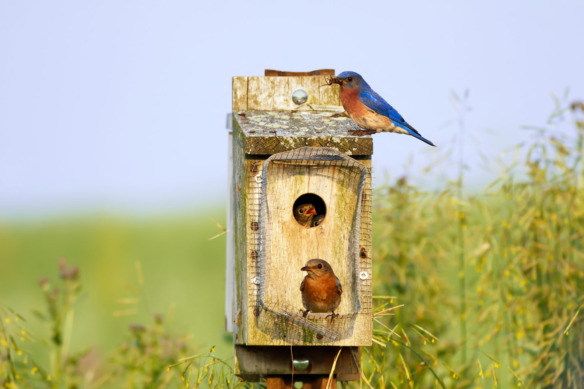 Male and female bluebirds around a birdhouse.