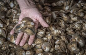 Oysters Grown Under Piers