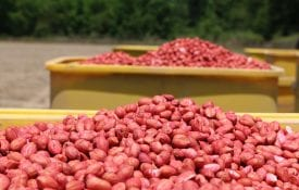 Treated peanuts in a seed hopper.
