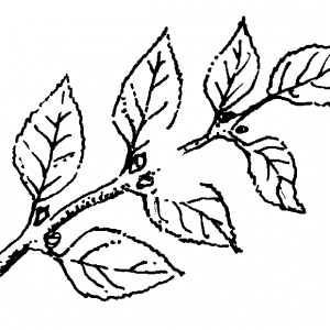 Figure 4a. Cut small branches just above leaf nodes.