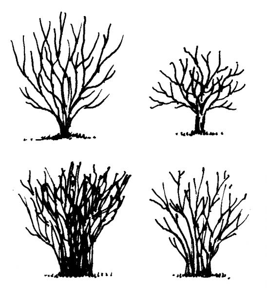 Figure 4d. Examples of proper pruning methods.