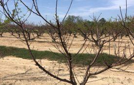 Declining Peach Tree