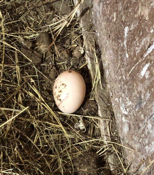 Dirty chicken Egg