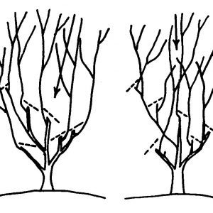 Single trunk ornamentals can be pruned to open the center (left) and encourage a spreading form or to keep the plant upright (right).