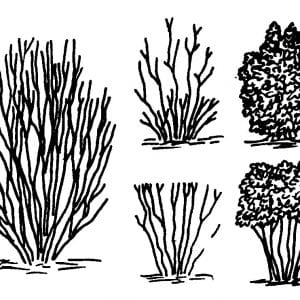 When a multiple trunk, cane-type shrub needs pruning (left), remove one-third of the canes to the ground and cut one-third halfway to the ground to encourage new growth throughout the plant (upper figures). Pruning only the tops will result in new growth only at the top (lower figures).