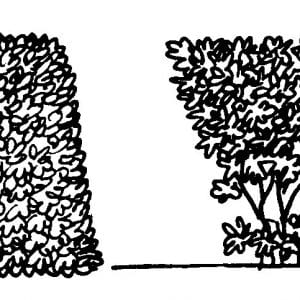 To maintain a formal hedge, the sides must be sloped slightly to make the top narrower than the bottom (left). Pruning the side vertically will shade the lower leaves and result in leggy growth (right).