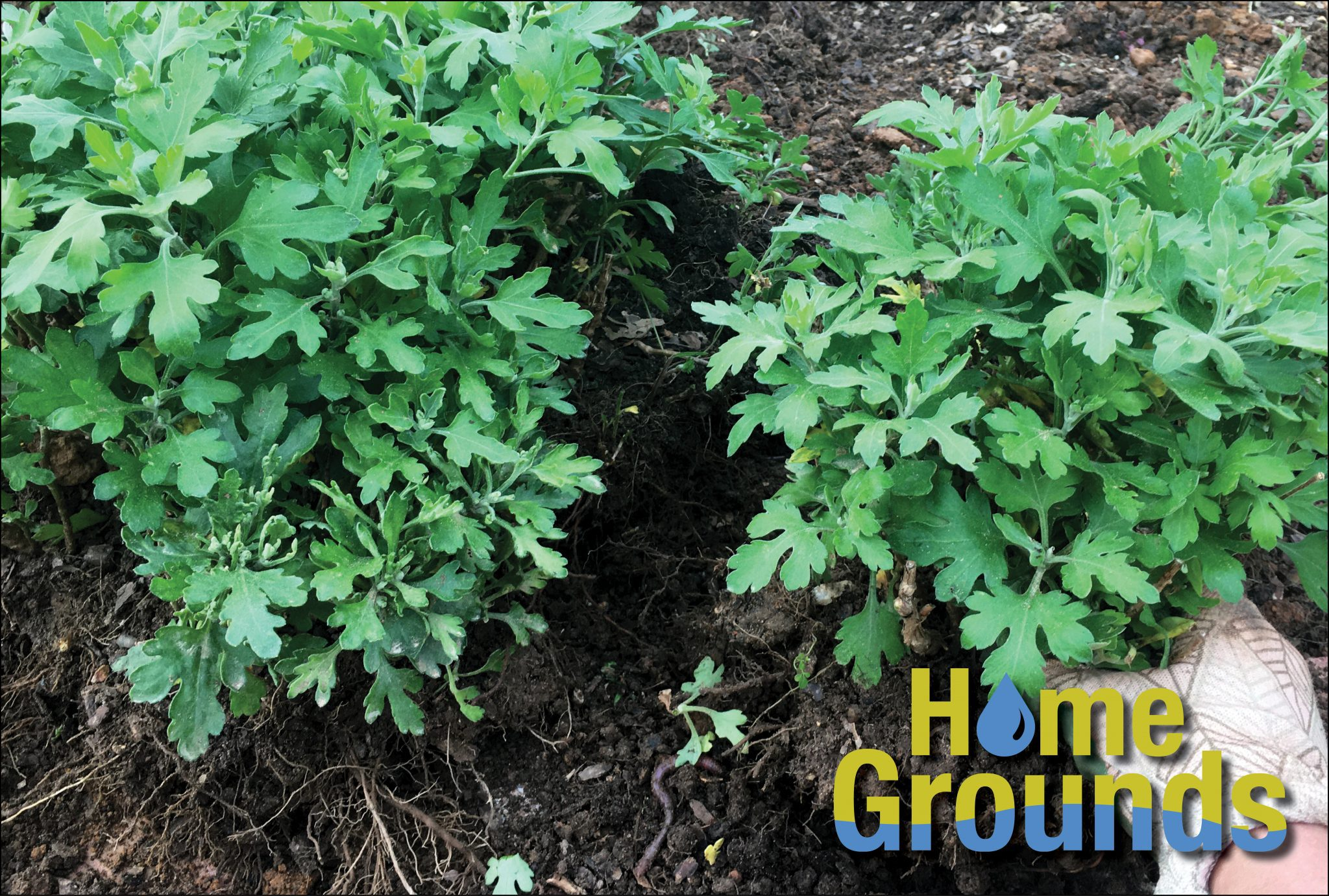 Perennial chrysanthemum plant being divided into two plants.