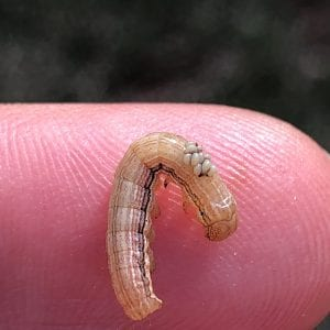 Parasitized true armyworm