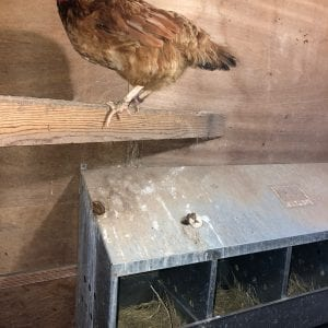 Chicken Perch Over Nest Box
