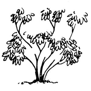 Figure 4e. Remove long azalea limbs back inside the plant.
