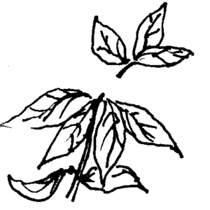 Figure 4f. Pinch out tips of new azalea growth to induce branching.