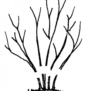 """Figure 4g. Prune multistem plants back 6 to 12"""" off ground level for compact, heavy growth."""