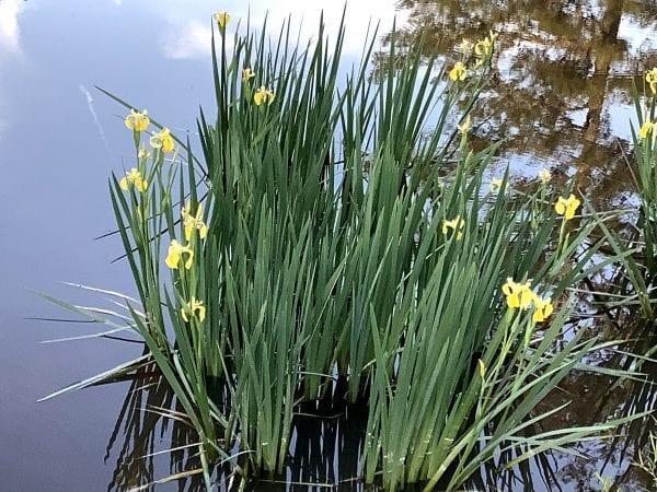 Figure 4. Yellow bog iris