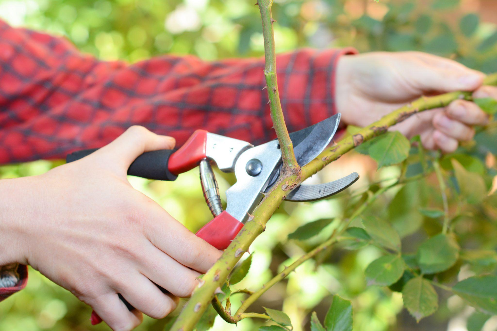 Pruning a rose bush