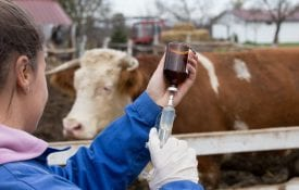 vet giving cattle injection