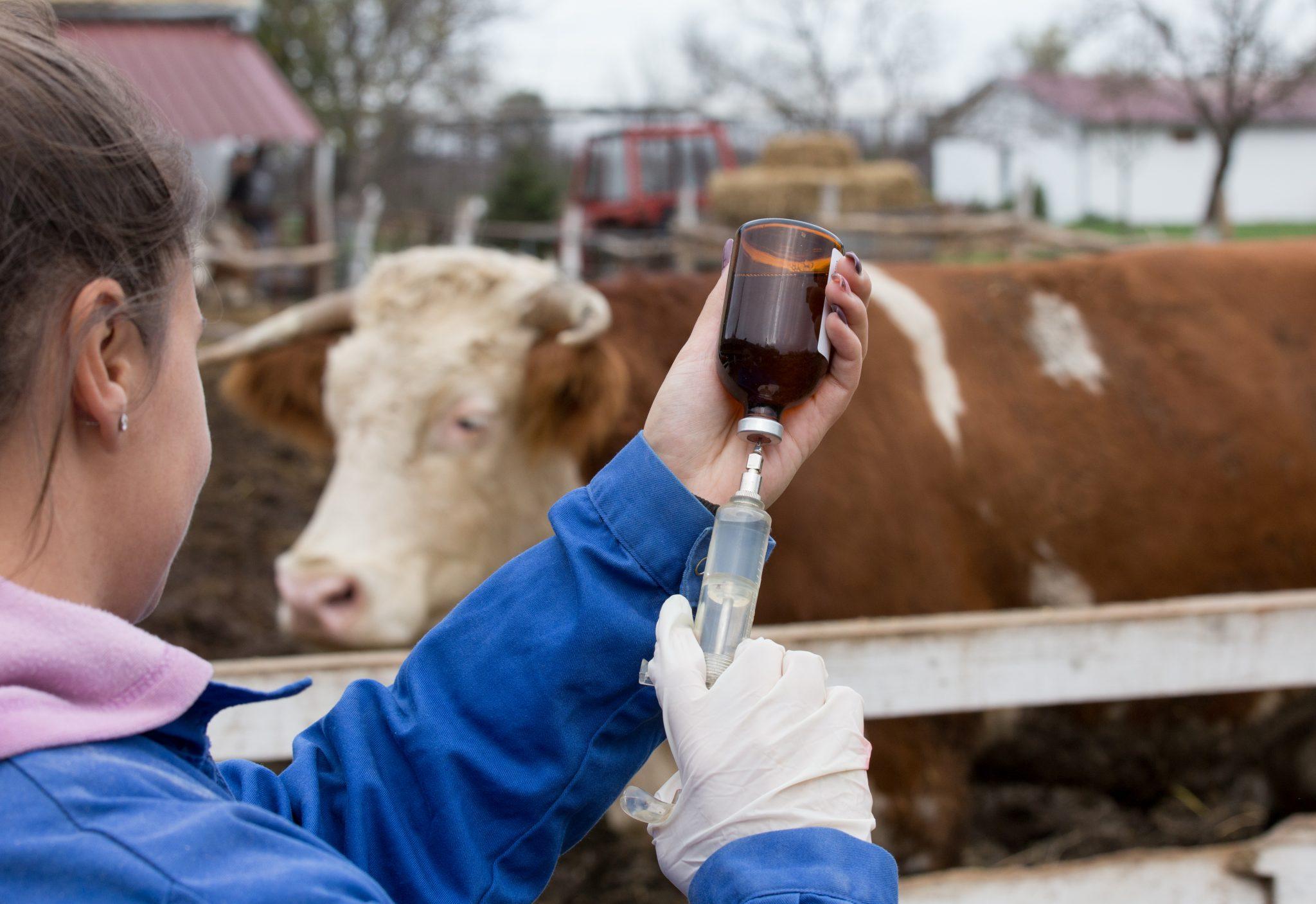 vet giving cattle injection