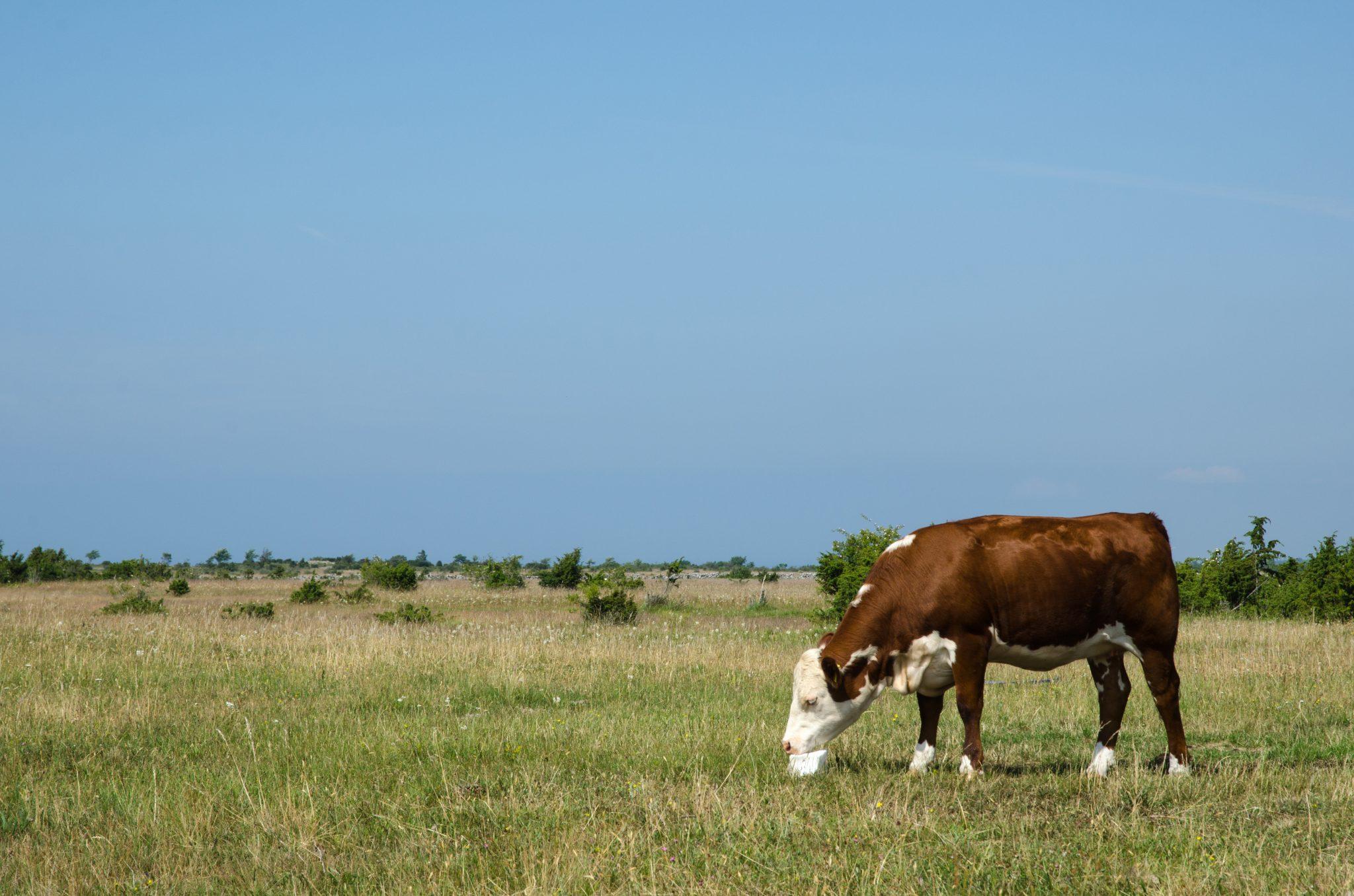 cattle licking a salt block