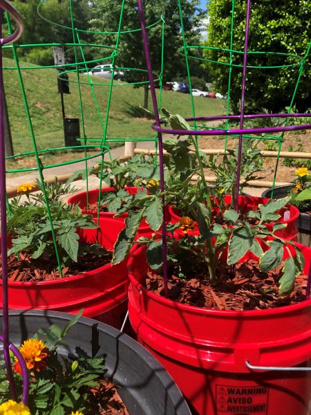 5 gallon bucket with tomato plants