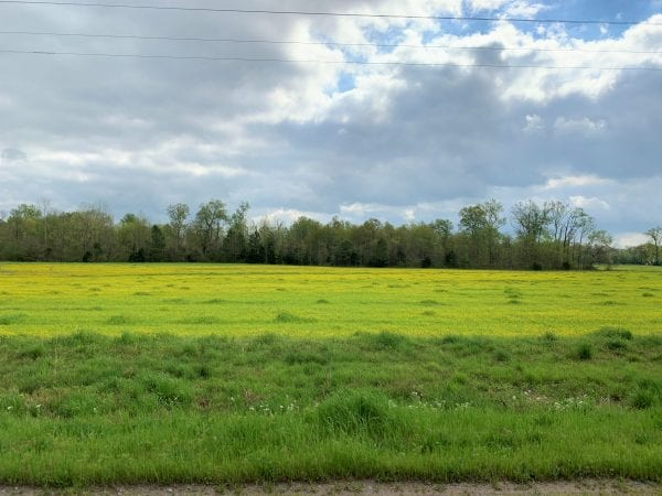Field with buttercup