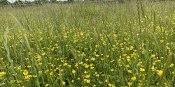 Close up of field with buttercup