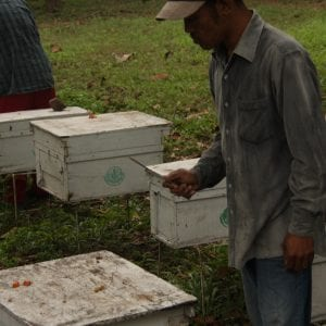 Thai beekeepers swatting hornets with a hive tool.