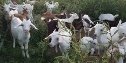 Meat Goats grazing in Urban forest land