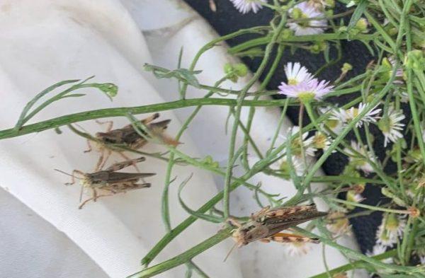 grasshoppers on fleabane