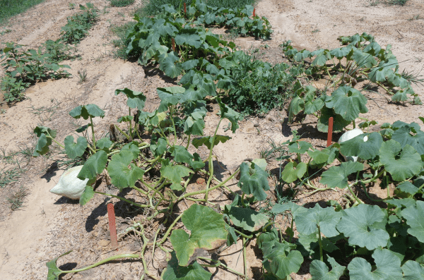 hubbard squash damage by squash insect pests