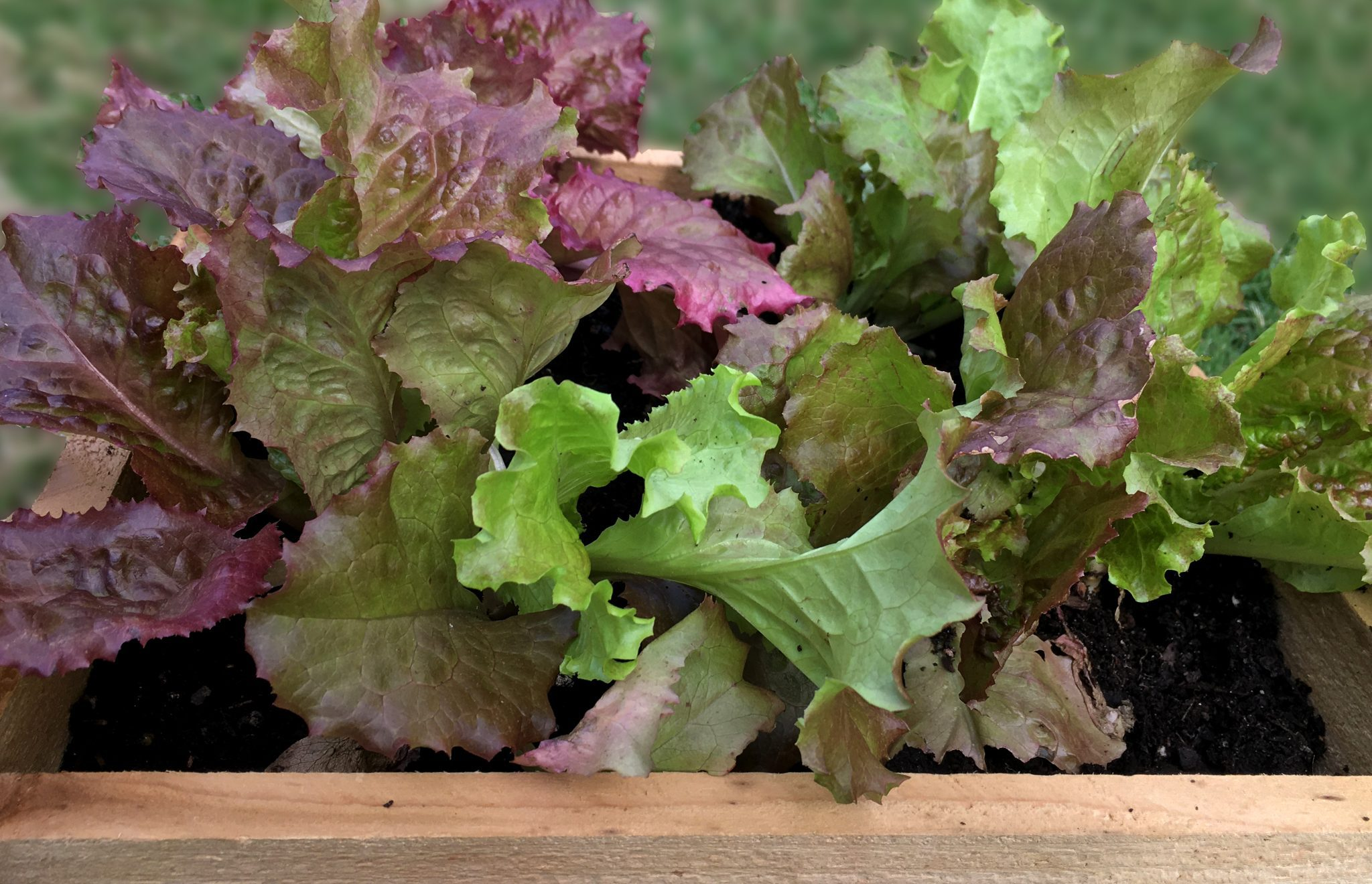 Lettuce growing in a one foot by one foot raised bed garden box.