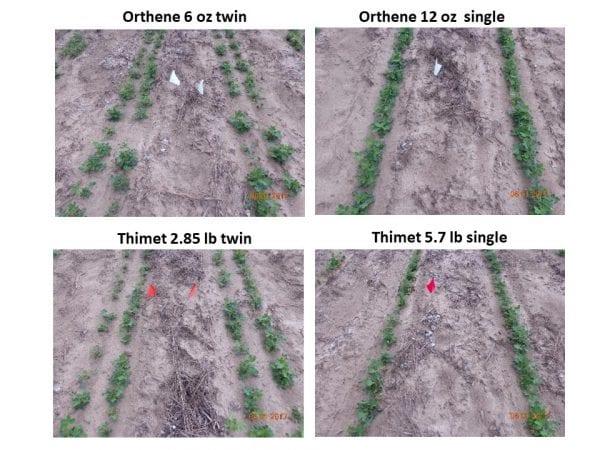Twin vs single row thrips damage.