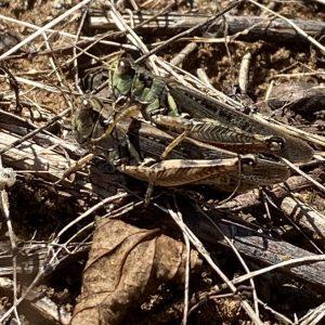 grasshoppes in field litter
