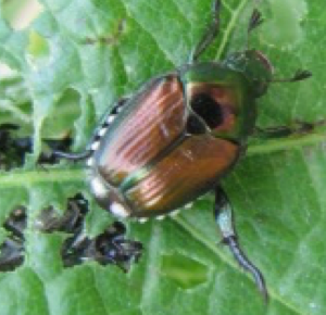 Adult Japanese beetle feeding on grape leaf.