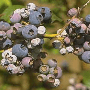 Shriveled blueberry fruit as a result of mummy berry disease.