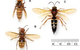 murder hornets, Asian giant hornets, Cicada Killer wasps, European Hornets
