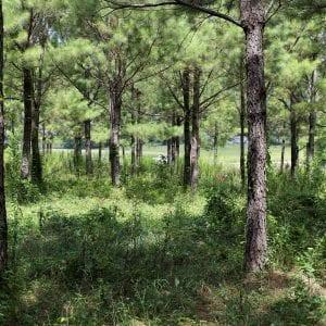Pine tree timberland with heavy underbrush