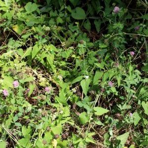 clover underbrush
