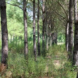 Pine trees grown in rows for timber