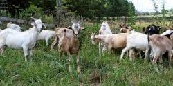 Meat Goat herd grazing