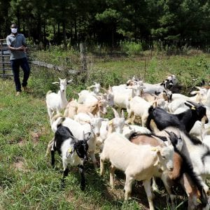 Meat goats being herded to corral