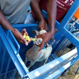 Goat receiving health check, medicine