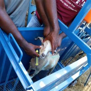 Goat receiving health check, FAMACHA