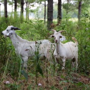 Goats in timberland grazing on underbrush