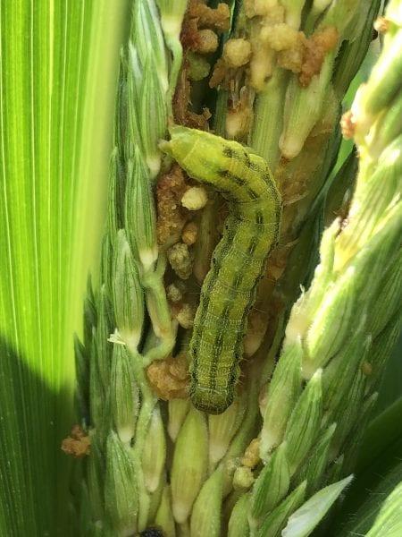 Summer garden pests. Corn earworm on corn.