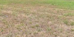 Bahiagrass field damaged by billbugs