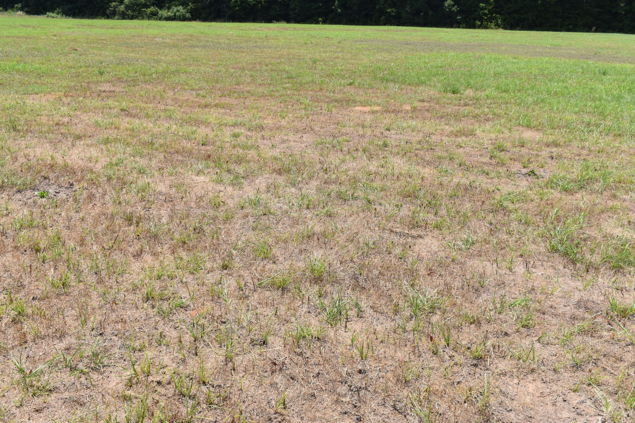 Bahiagrass field damaged by billbugs