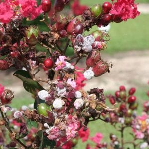 Figure 2. Flower bud colonization and subsequent bud abortion associated with powdery mildew on crapemyrtle.