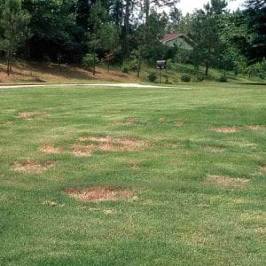 Figure 2. Spring dead spot rings on bermudagrass