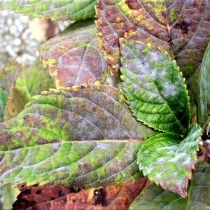 Figure 3. Extensive leaf discoloration associated with heavy powdery mildew colonization of leaves of 'Nikko Blue' bigleaf hydrangea.