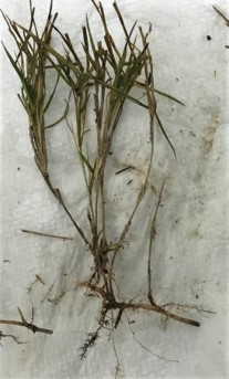 Figure 3. Discolored roots associated with spring dead spot on bermudagrass