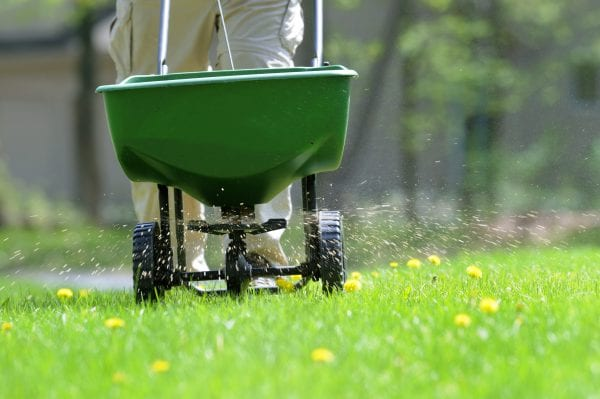 Spreading fertilizer and weed killer on the lawn.